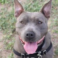 Mixed Breed (Large) Mix Dog for adoption in Austin, Texas - Phoebe