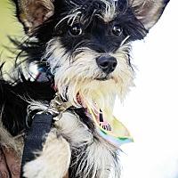 Adopt A Pet :: Bullwinkle - San Diego, CA