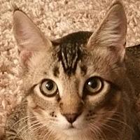 Adopt A Pet :: Forrester - Auburn, CA