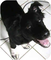 Border Collie/Spaniel (Unknown Type) Mix Puppy for adoption in Greensboro, North Carolina - Teddy