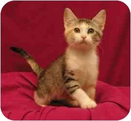 Domestic Shorthair Kitten for adoption in Sacramento, California - Spice
