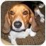 Photo 2 - Beagle Dog for adoption in Latrobe, Pennsylvania - Wayne