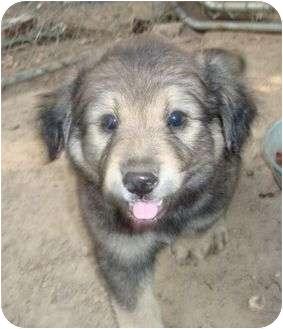 Keeshond/Australian Shepherd Mix Puppy for adoption in Spring Valley, New York - Green Bean