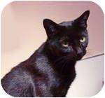 Domestic Shorthair Cat for adoption in Tillamook, Oregon - Onyx