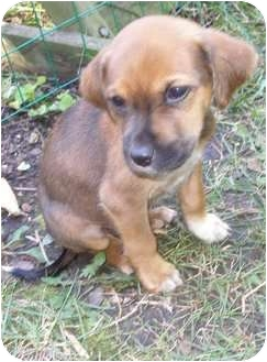 Shepherd (Unknown Type) Mix Puppy for adoption in Hainesville, Illinois - Scooby