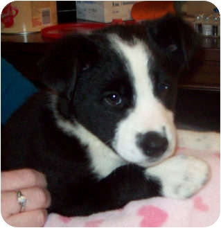 Border Collie/Sheltie, Shetland Sheepdog Mix Puppy for adoption in Southport, North Carolina - TEBOW (Adoption Pending)