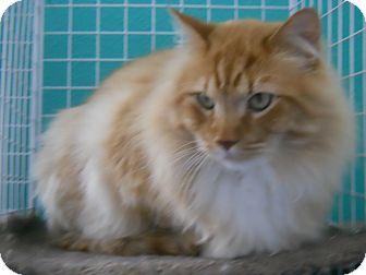 Domestic Longhair Cat for adoption in Colorado Springs, Colorado - Malone
