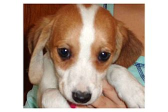 Beagle Mix Puppy for adoption in Pompton Lakes, New Jersey - Jane