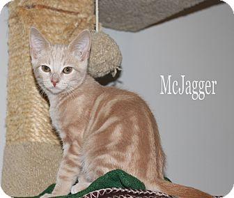 Domestic Shorthair Kitten for adoption in Chester, Maryland - McJagger