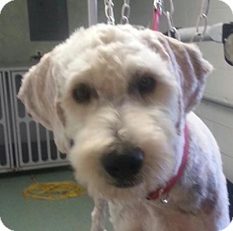 Labradoodle Mix Dog for adoption in Hagerstown, Maryland - Ranger