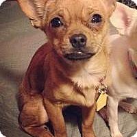 Adopt A Pet :: Cora - Shawnee Mission, KS