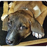 Adopt A Pet :: Stella Fay - Silsbee, TX