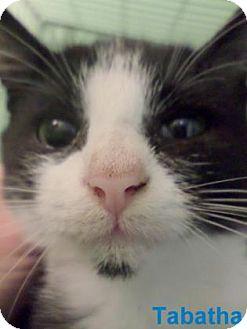 American Shorthair Kitten for adoption in Georgetown, South Carolina - Tabatha