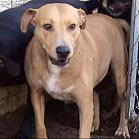 Labrador Retriever/Terrier (Unknown Type, Medium) Mix Dog for adoption in Tyler, Texas - AA-Cuddles