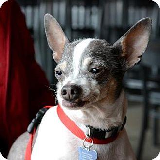 Mexican Hairless Mix Dog for adoption in Denver, Colorado - Ricardo