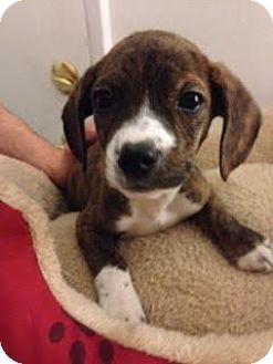 Boxer Mix Puppy for adoption in ST LOUIS, Missouri - Frazier