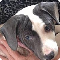 Adopt A Pet :: Blue-eyed Clyde - Marlton, NJ