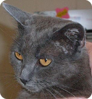 Russian Blue Cat for adoption in Buhl, Idaho - Violet