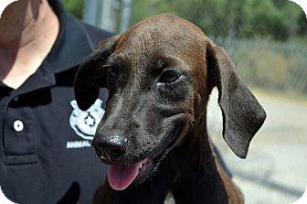 Labrador Retriever/Pointer Mix Puppy for adoption in Pluckemin, New Jersey - Nicky