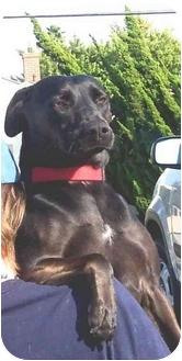 Labrador Retriever Mix Dog for adoption in West Los Angeles, California - Sarah