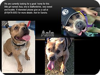 American Staffordshire Terrier Mix Dog for adoption in San Diego, California - Asia