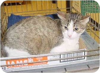 Domestic Shorthair Cat for adoption in Overland Park, Kansas - Baby