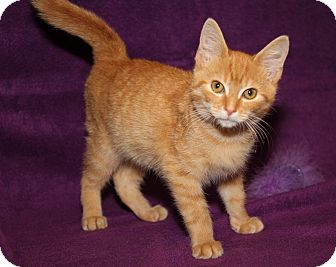Domestic Shorthair Kitten for adoption in Marietta, Ohio - Skipper (Neutered)
