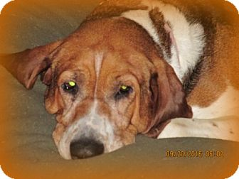 Treeing Walker Coonhound Dog for adoption in Coldwater, Michigan - Tilly - SENIOR