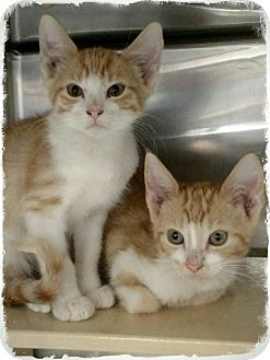 Domestic Shorthair Kitten for adoption in Pueblo West, Colorado - Cogsworth