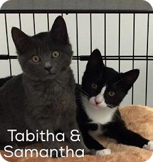 Domestic Shorthair Kitten for adoption in Great Neck, New York - Tabitha