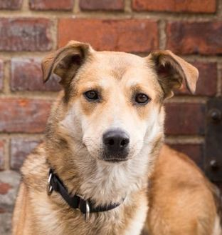 Shepherd (Unknown Type) Mix Dog for adoption in Brooklyn, New York - UFO