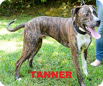 Labrador Retriever/Boxer Mix Dog for adoption in Broadway, New Jersey - Tanner