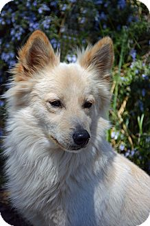 American Eskimo Dog Mix Dog for adoption in Mountain Center, California - Lincoln