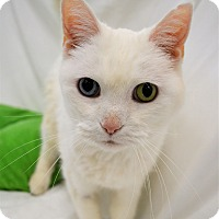Domestic Shorthair Cat for adoption in Michigan City, Indiana - Cuddles