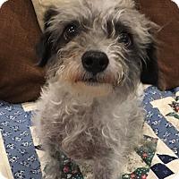 Adopt A Pet :: Moo Moo - Santa Ana, CA