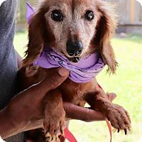 Adopt A Pet :: Star *calm and quite - Sugarland, TX