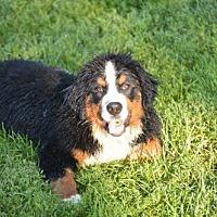 Adopt A Pet :: Baby - Shelburne, VT
