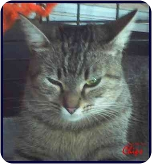 Domestic Shorthair Cat for adoption in Chiefland, Florida - Chips