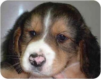 Beagle/Labrador Retriever Mix Puppy for adoption in Honesdale, Pennsylvania - One Beagle Lab Pup Left!