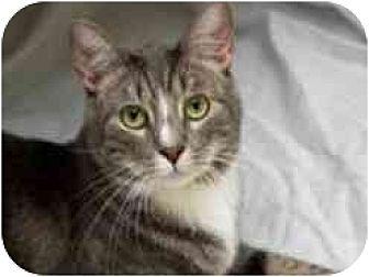 Domestic Shorthair Cat for adoption in Pasadena, California - Prongs