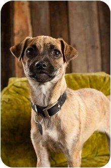 Pug Mix Puppy for adoption in Portland, Oregon - Deborah