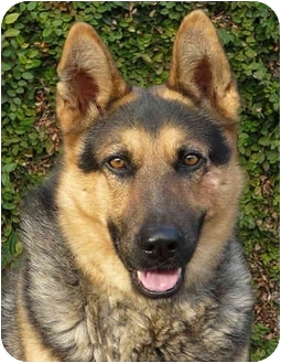 German Shepherd Dog/Husky Mix Dog for adoption in Los Angeles, California - Lucky von Lagerhof