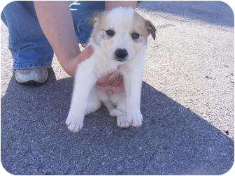 Labrador Retriever/Border Collie Mix Puppy for adoption in Rochester, New Hampshire - Bennie