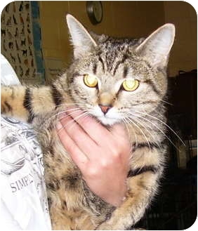 Domestic Shorthair Cat for adoption in Somerset, Pennsylvania - Cool Bug