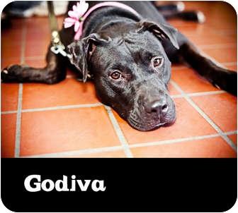 American Pit Bull Terrier/American Pit Bull Terrier Mix Dog for adoption in Phoenix, Arizona - GODIVA