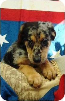 Catahoula Leopard Dog Mix Puppy for adoption in Brenham, Texas - Ginny