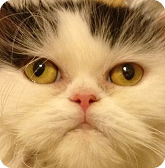 Persian Cat for adoption in Beverly Hills, California - Carly