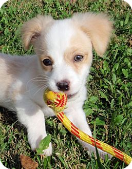 Zeke Adopted Puppy 446 Houston Tx Cavalier King Charles Spaniel Papillon Mix