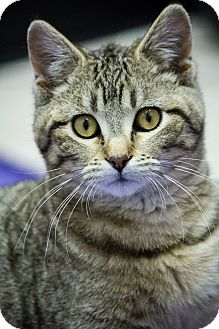 Domestic Shorthair Cat for adoption in Chicago, Illinois - Sassafras
