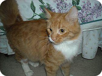 Domestic Mediumhair Cat for adoption in Arlington, Virginia - Bo & Luke